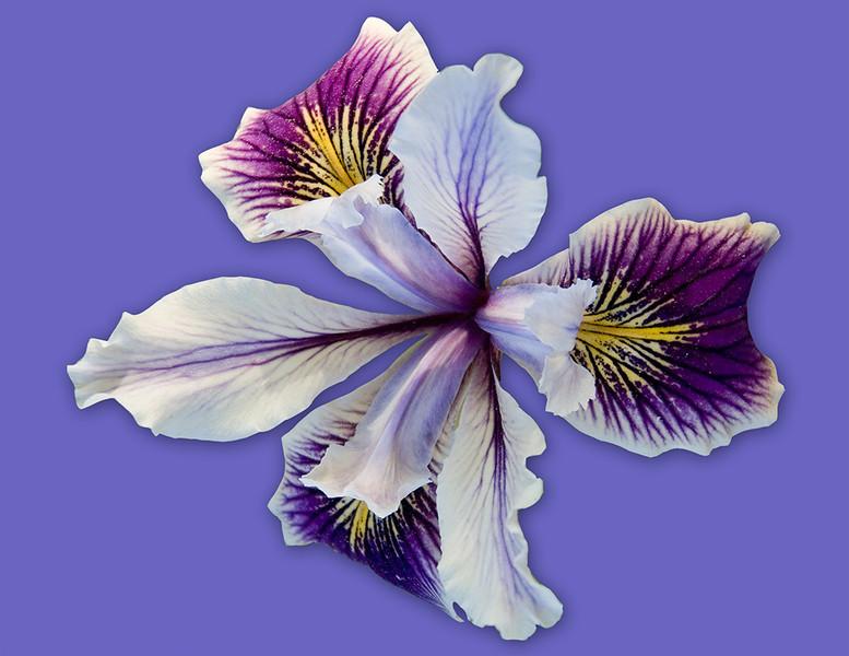 Pacific Coast Iris Cutout