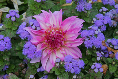 Dahlia at Planting Fields Arboretum