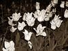 night tulips