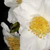 Camellia sasanqua 'Gulf Glory'<br /> Eryldene Historic House and Garden. Sydney Australia.