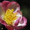 Camellia sasanqua cv.Kawas<br /> Royal Botanic Gardens, Sydney.