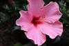 2515 - Hibiscus Flower