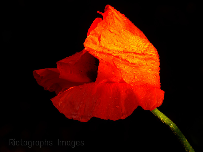 Beautiful Red, Orange Poppy Flower