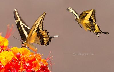 Shallowtail  two Butterflies  1295