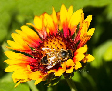 Bee on Lazy Susan flower 1166
