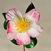 Camellia sasanqua <br /> Combine ZM 12 images