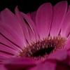 """<font color=""""#e9efb7"""">Pink Gerbera"""