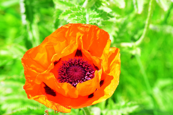 Poppy, Rictographs Images