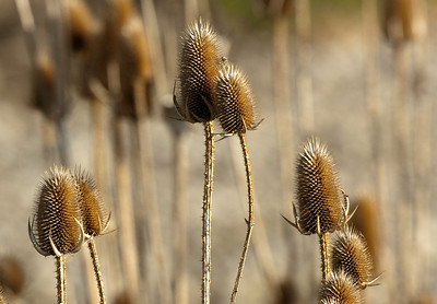 Teasel Pods, Were, are used to lift the nap on woolen cloth giving them a softer texture. While most comercial manufactures now use metal combs, many hobiests and a few comercial producers still use these pods in their production.
