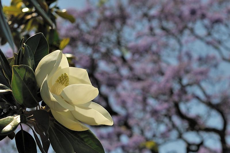 Magnolia grandiflora flower<br /> Royal Botanic Gardens, Sydney, Australia.<br /> Jacaranda background