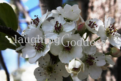 Title: Apple Blossoms New Hope, PA