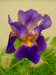 Bearded Iris Beauty