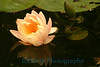 1299 - Water Lily Flower