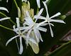 Spider flowers