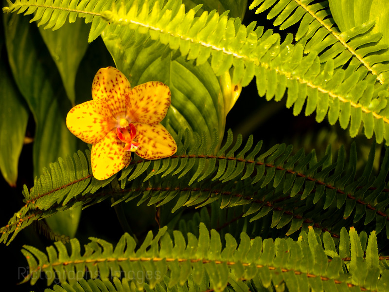 Yellow Orchid & Fern