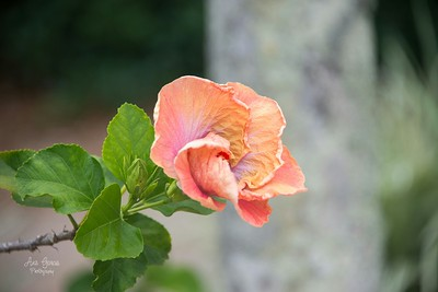 Hibiscus flowers are one of my favorite flowers.