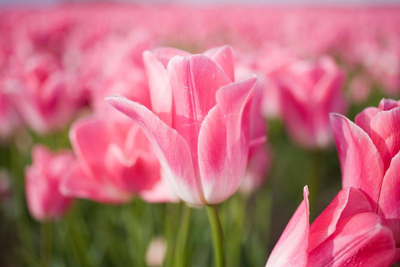 Tulips_04_16_10_0012