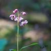 Pink Alpine Flower