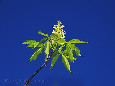 A Chestnut Tree Flower