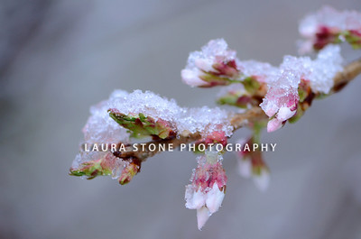Branch of cherry tree with blossoms covered by a layer of snow and ice