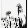 humbolt flower B&W