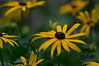 Sunshine in my garden. Rudbeckia goldsturm aka black eyed susan