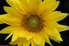 Sunflower from bird seed