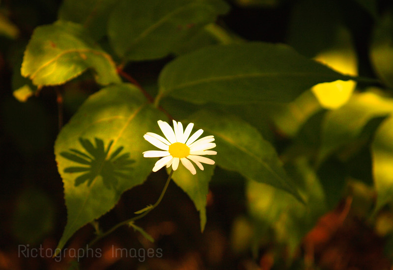Forest Daisy