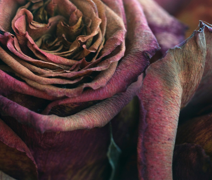 Dead rose 2