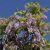 Wisteria formosa<br /> Royal Botanic Gardens Sydney