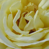 Rose- Peace; class- hybrid tea- modern large flowered; synonym- Madame Antoine Melland, Gloria Dei, Fredsrosen, Beke, Gioia; originated in France- 1945; WFRS Rose Hall of Fame- the number 1 most popular rose in the history of the world in 1976; bred at the end of WWII, became a symbol for the end of the war