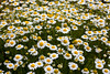 Oxeye Daisies, Leucanthemum vulgare, near Crested Butte, Colorado , Gunnison County, Colorado, 8-6-07