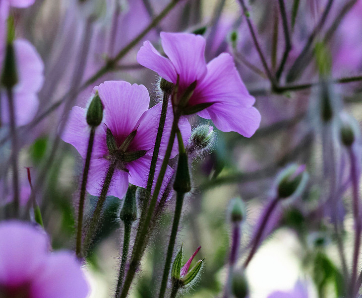 Purple flowers, stems and buds