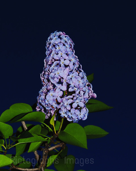 Lilac Flowers Blooming