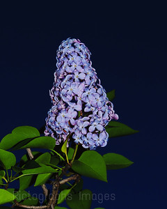 Beautiful Blooming Lilac