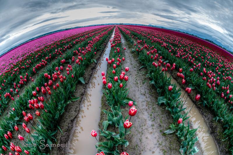 4-22-13 Tulip Planet taken yesterday in the Skagit (Washington).