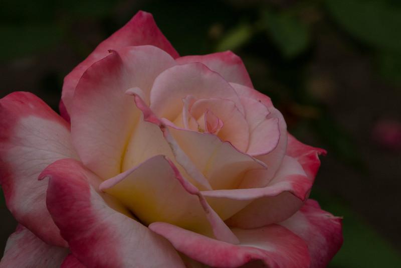 Rose - Secret<br /> Rose - Secret