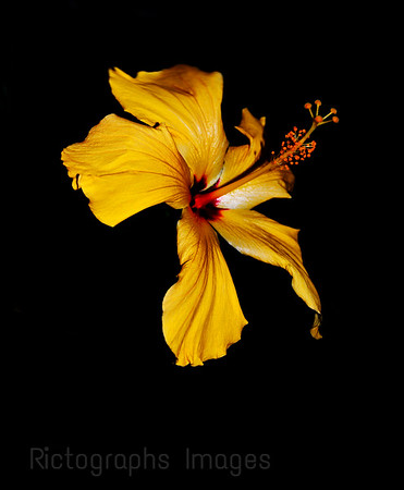 A Yellow Hibiscus