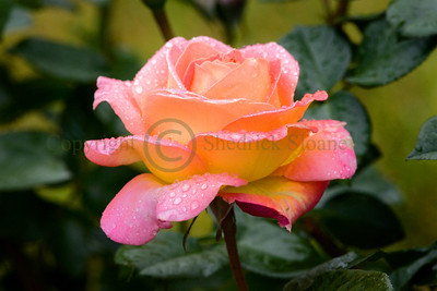 064476 Rose