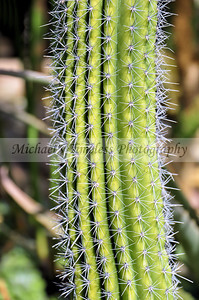 Organ Pipe Cactus - 4 x 6