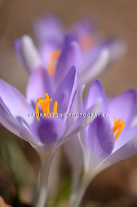 Purple crocus (Crocus Vernus) pushing their way up to the early spring sun