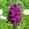 A wild orchid i photographed near hushinish beach on harris, it was tiny so i used macro mode. The two daisies behind it came out far too bright.