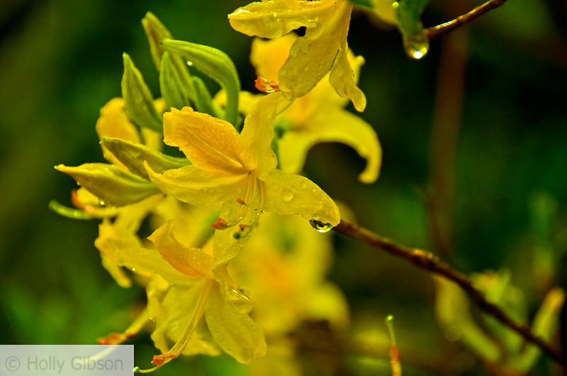 Yellow azalea - Bishop's Close - 200