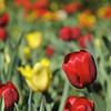 Tulips.<br /> Australia.