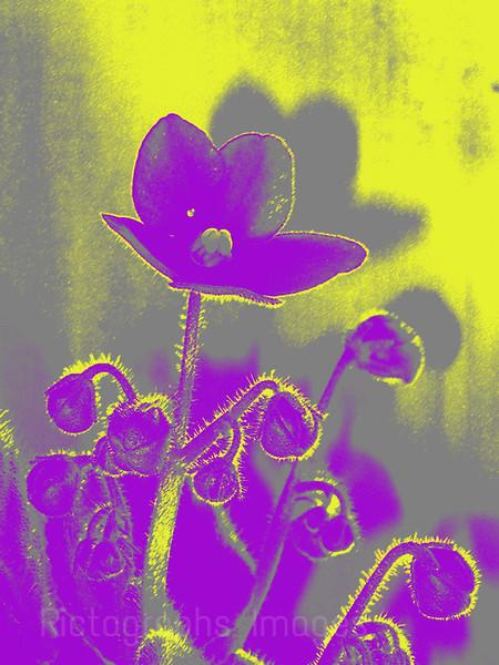 African Violet Art Flower