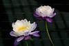 CRay-Flowers-0805