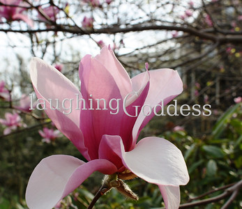 Title: Truvy... because it's a magnolia after all. Summit, NJ