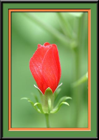 Hummingbird plant