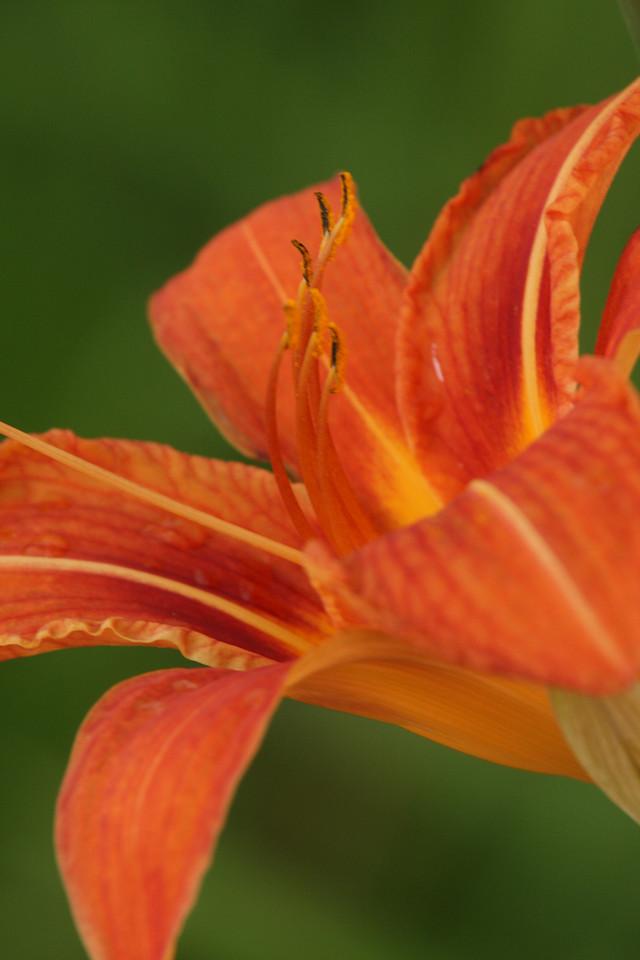 IMG4_19595 tiger lilly flower