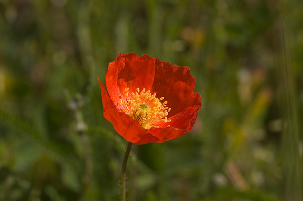 This Red Poppy was photographed near Cheney Lake in Anchorage, Alaska in late July 2006.